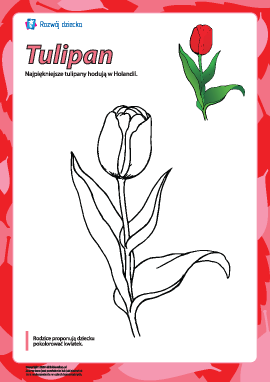 """Kolorowanka """"Tulipan"""""""
